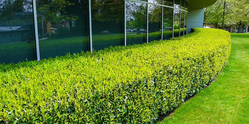 hedges outside office